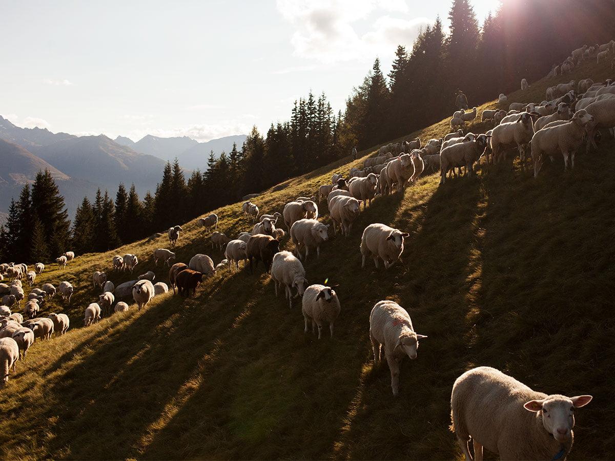 Swisswool_Landschaftsschutz_Schafe_Schafwolle