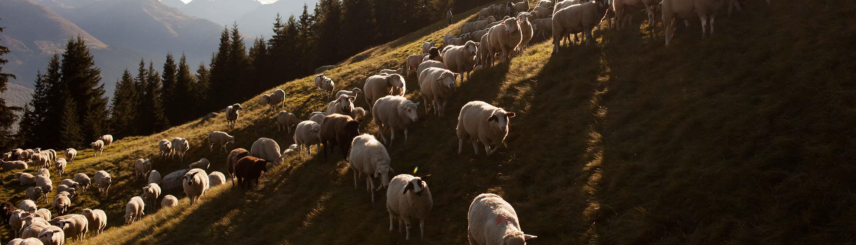 Swisswool_Schafe_Landschaftsschutz_Schafschurwolle_Why-Swisswool