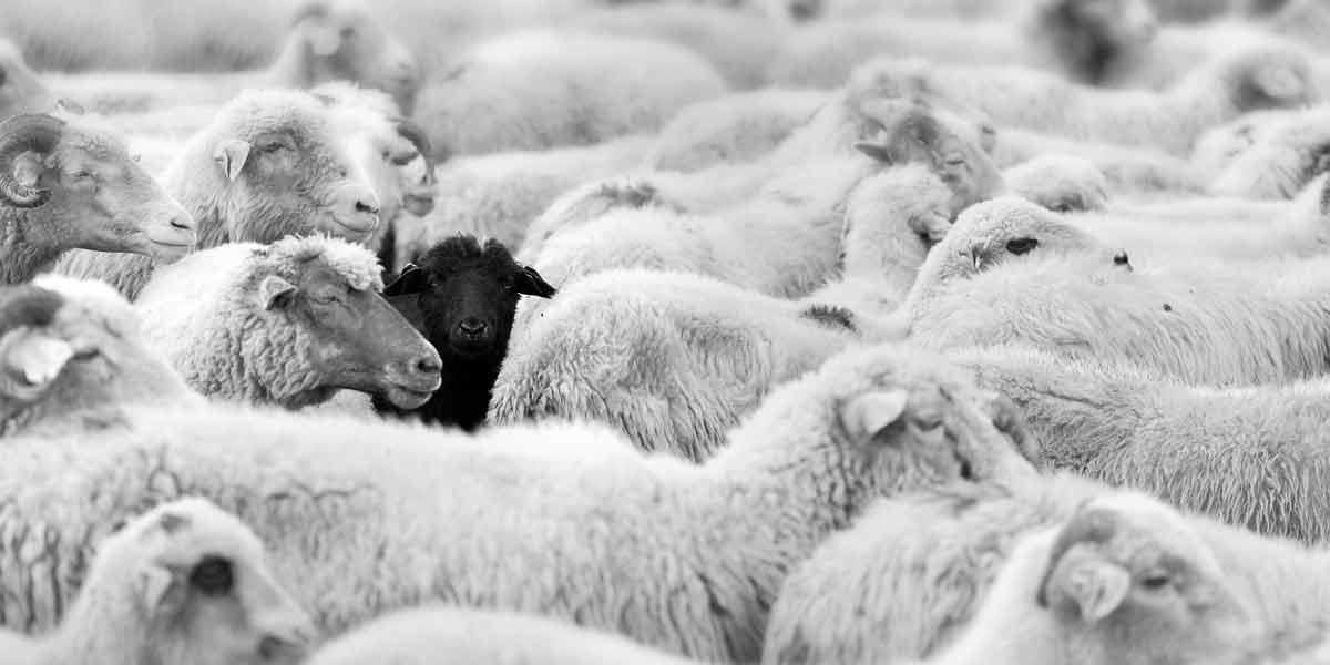 schwarzes-Schaf-bei-weissen-Schafen
