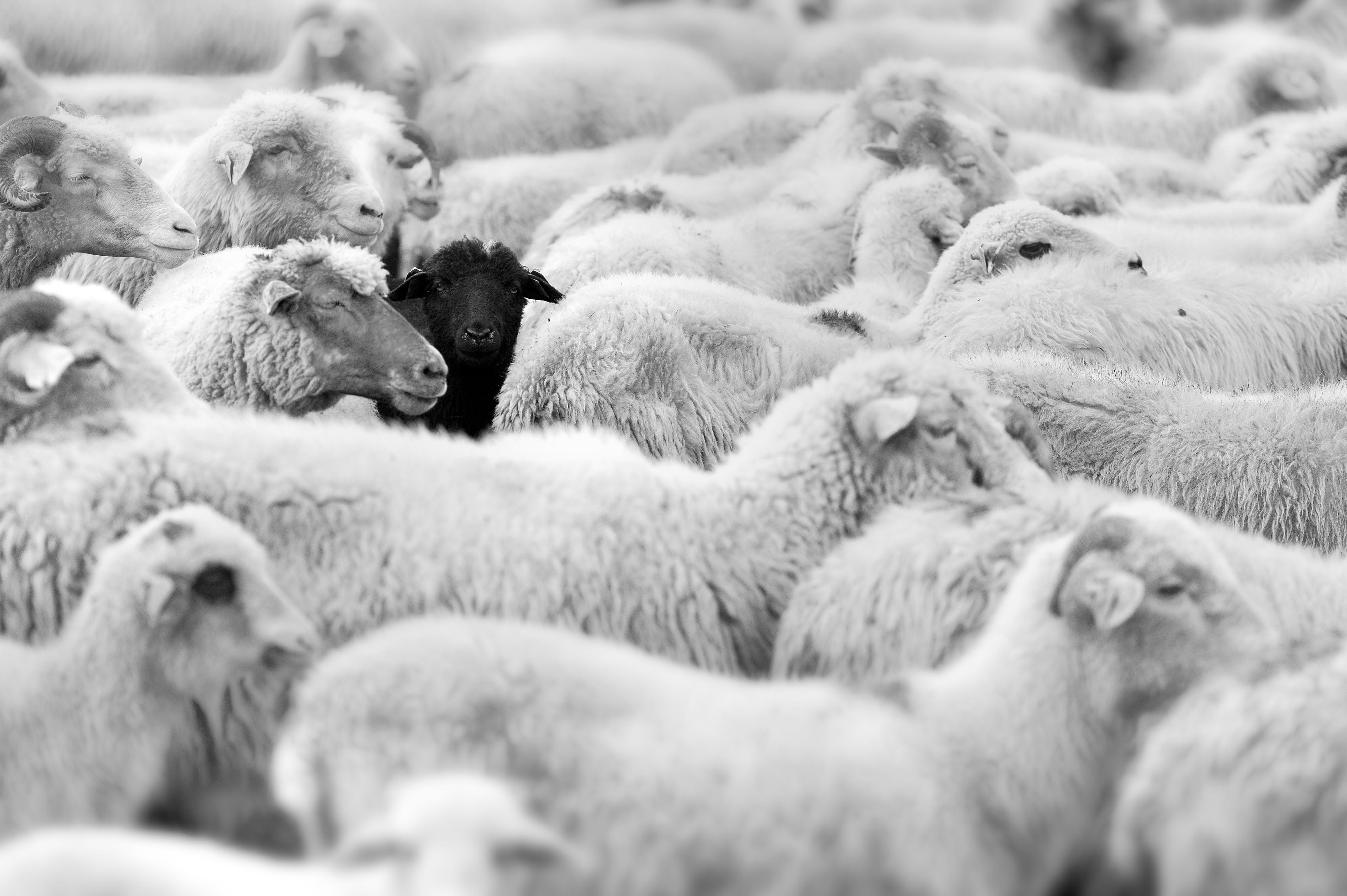 schwarzes Schaf bei weissen Schafen