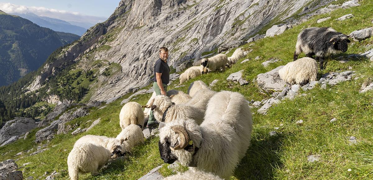 Swisswool Heinz Brog Roselauigletscher SchweizerWolle Schafe Berge