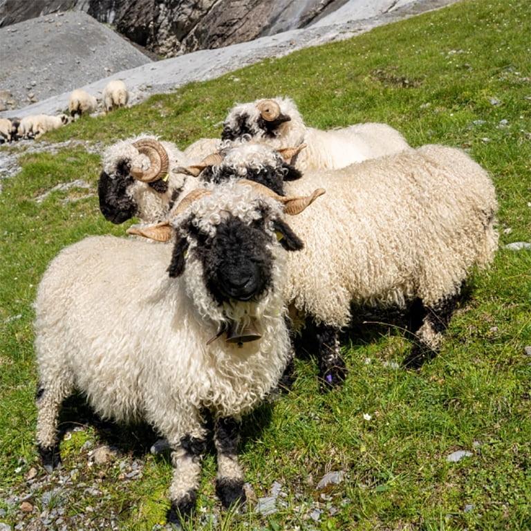 Swisswool_Walliserschwarznasenschafe-suess-Berge