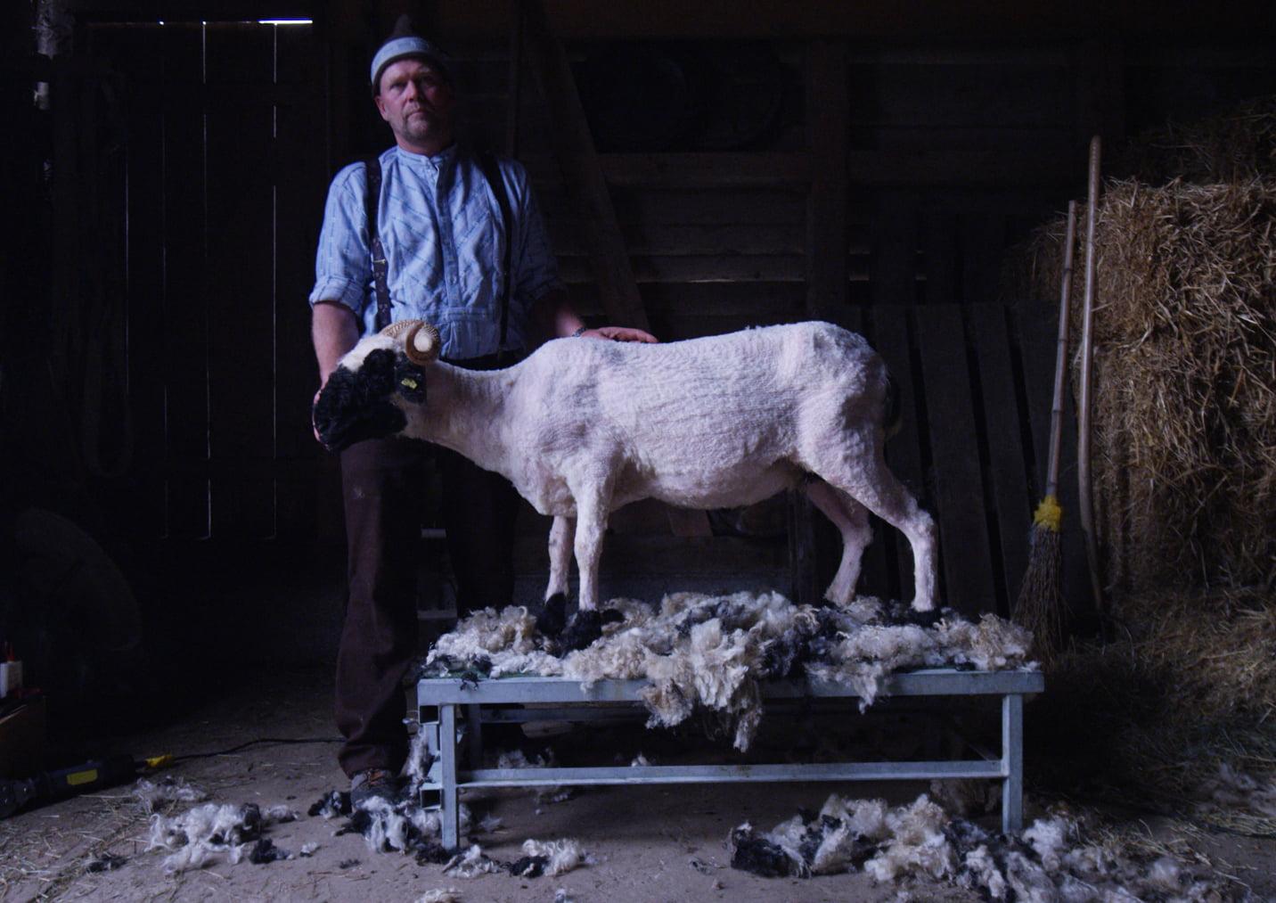Swisswool Heinz Brog vor fertig geschertem Schaf in Stall