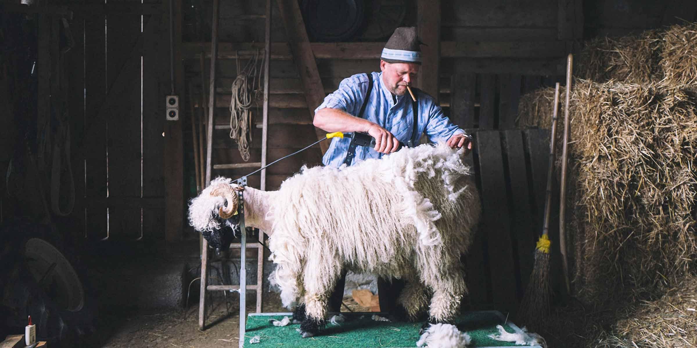 Swisswool Schafschur Hand mit Schermesser am Rücken des Schafs