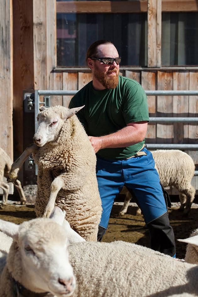 Swisswool Schafschur Mann packt weisses Schaf